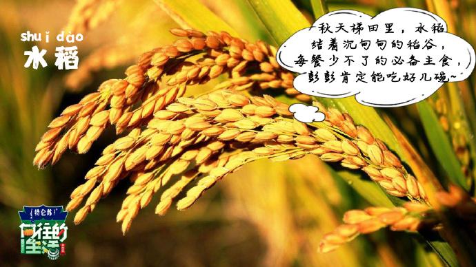 向往的生活3-水稻